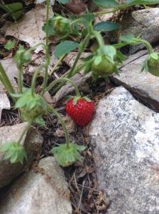 maystrawberriesRIPEone